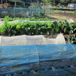 葉物野菜は虫にやられました。