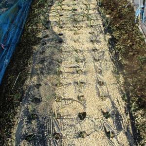 異常な酷寒が続くので玉ねぎの根元に籾殻を撒き防寒しました。