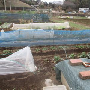 イチゴの枯葉切と籾殻防寒。