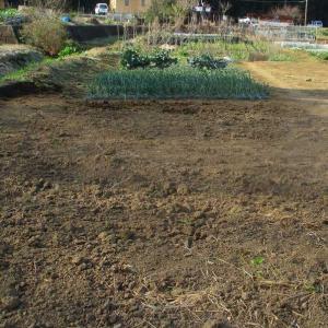 ニンニクの追肥と籾殻防寒。
