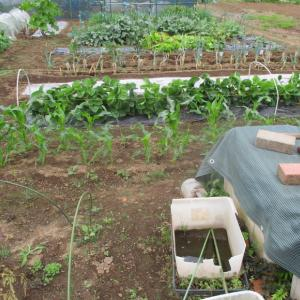 イチゴは収穫が終りランナーが伸びてきました。