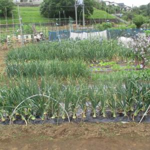 苗床の玉ネギも茎が折れたので撤収しました。