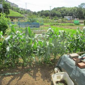 イチゴの苗取りを始めました。