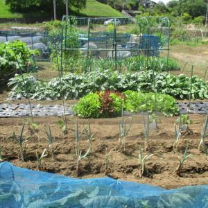 ハバネロと沖縄赤毛瓜の種を蒔きました。