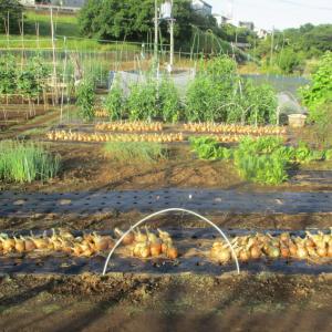 玉ねぎ(ネオアース③)の収穫は終り、跡は太陽熱消毒をしています。