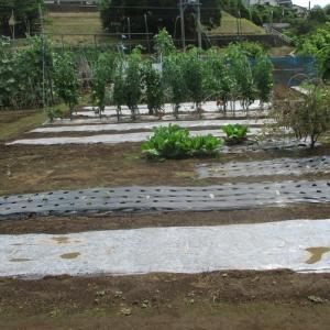 葉物野菜の畝は太陽熱消毒中です。