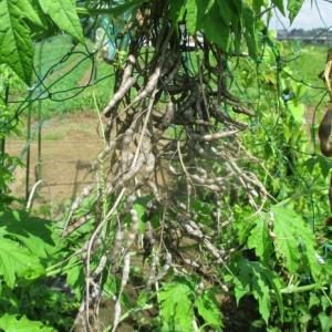 辛味大根の種を保存しました。