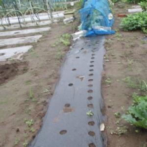 枝豆の撤収とカキナの種蒔き。