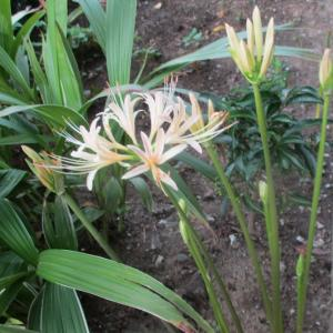 白花ヒガンバナ・コロッケカレー蕎麦・クイズ
