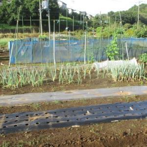 大身生姜を撤収して種用ニンニクの畝を作りました。