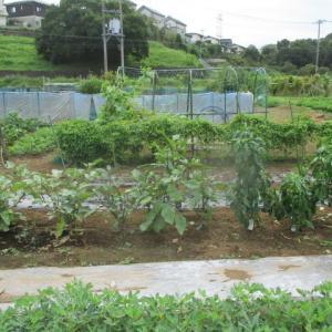 イチゴの苗を定植しました。