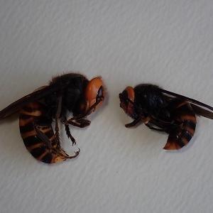 オオスズメバチとコガタスズメバチ