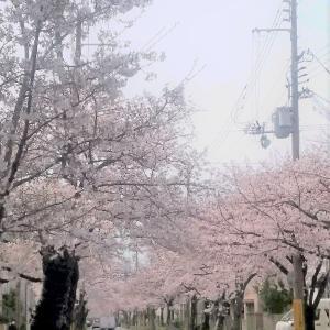 美しい桜の季節ですね♪