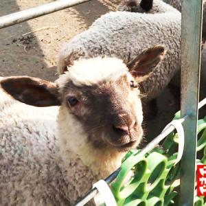 おじさん大好き 子羊さん