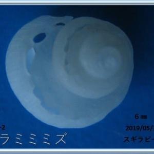 喜界島シリーズ第8回貝殻紹介