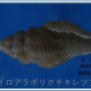 喜界島シリーズ第9回貝殻紹介
