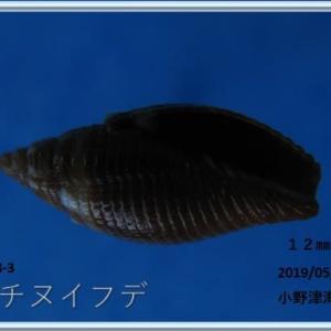喜界島シリーズ第44回貝殻紹介