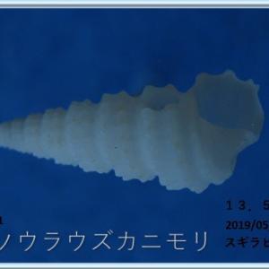 喜界島シリーズ第46回貝殻紹介