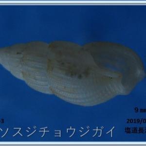 喜界島シリーズ第47回貝殻紹介