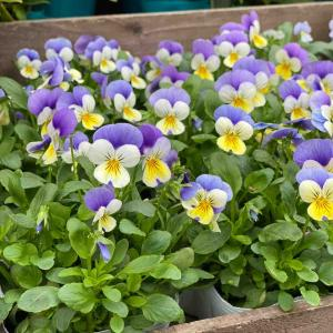 冬も元気な寄せ植えが週末はお買い得!