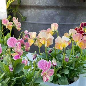 先週人気のお花を今週もご用意出来ました。