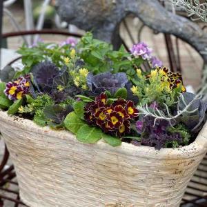プリムラやビオラをローラアシュレイに植えて。