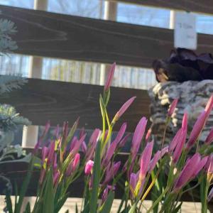 球根や零れ種でも咲くお花が色々な春。