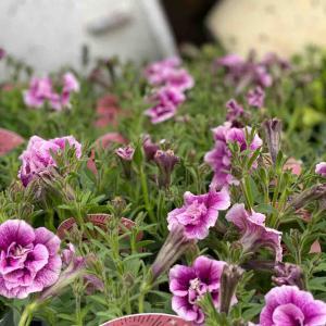 初夏を彩るお花と春を彩るお花で少しお花屋さん!                ペチュニア販売開始!