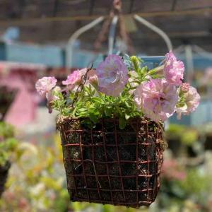 ペチュニアの切り戻しをお忘れなく〜              自然咲きアジサイ販売。