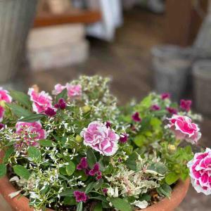 春のお花を少し入れ替えて、夏も元気な寄せ植えの変身!
