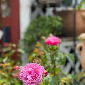 フワッと香る風に漂うバラの香り。
