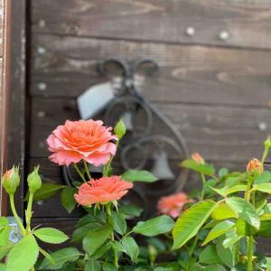 バラの魅力に魅せられて