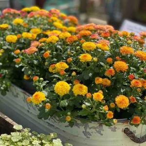 秋のお花は育てやすいのが好き!                   コスモス色々販売