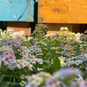 言葉では伝わらないお花の世界。            アリッサムシェリ販売。