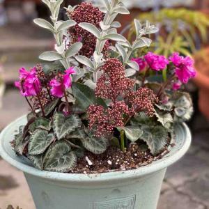 可愛いビオラにアンティーク系ビオラは好きですか❔       週末は寄せ植えがお買い得!