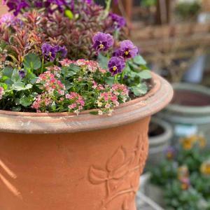 ビオラやシクラメンを使った寄せ植え。