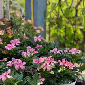 始まりの、終わりの、始まりなのだ!(バカボンのパパ)              ピンクのお花が夏も元気な ガイラルディアグレープセンセーション販売