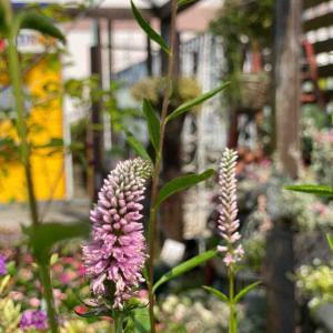雨の次の日は、お花たちをフルフルしちゃうのだ!!               夏に爽やかな香りが欲しいから 石垣島のレモングラス販売