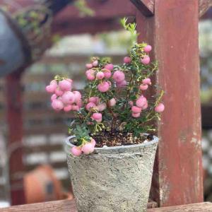 ヒヤリハットの法則!                 八重咲きヒガンバナ販売