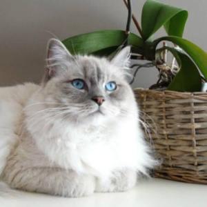 人懐っこい猫、ラグドール
