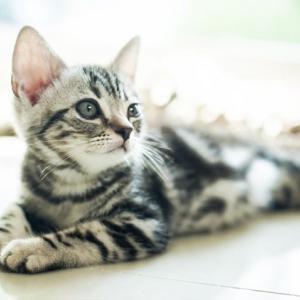 昔から人気のアメリカンショートヘアの猫
