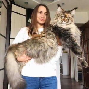 世界一大きい猫♪メインクーン