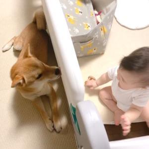泣いてる娘の側へ心配そうに近寄る柴犬のお兄ちゃん
