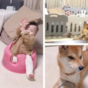 柴犬と7ヶ月の娘で「はーい」をコラボしてみたら可愛すぎた
