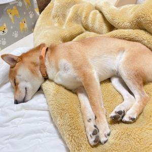 隣で添い寝をしてくれる優しい柴犬さん