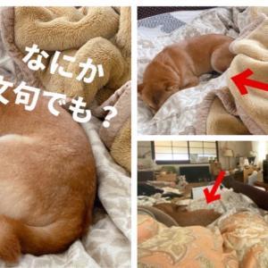 最近朝起きると人の布団の上で柴犬が堂々と寝ている話