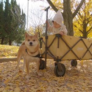 柴犬と娘を連れてイチョウ狩りへ行ってきた話