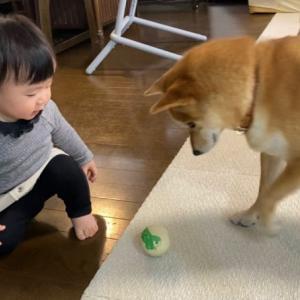 娘がりんご郎にボールをパスして遊ぶ事を覚えたそうです
