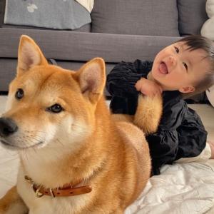 【アイリス更新第3回目】〜柴犬兄さんの存在と娘の成長は大きく繋がっている〜