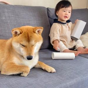 最近我が家のソファは柴犬と1歳娘のたまり場となっている